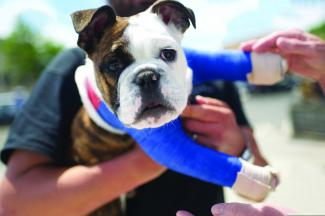 An injured English bulldog puppy with  two casts.
