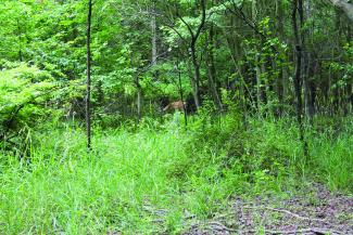 A deer grazes in the woods.