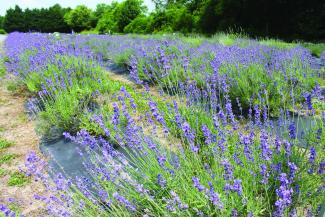English lavender blooms at Lavender Fields near Milton in Sussex County.