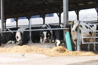 Cows on location at Hopkins Dairy Farm